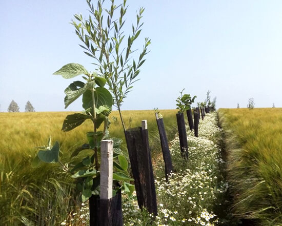 Agroforesterie intra-parcellaire par GreenSol